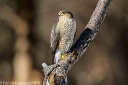 Hawk_18