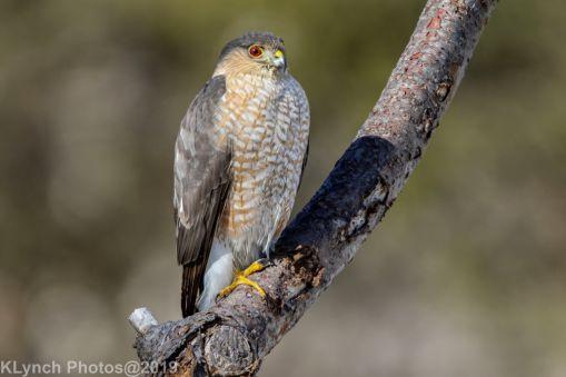 Hawk_34