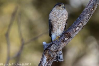 Hawk_68