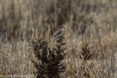Bluebird_10