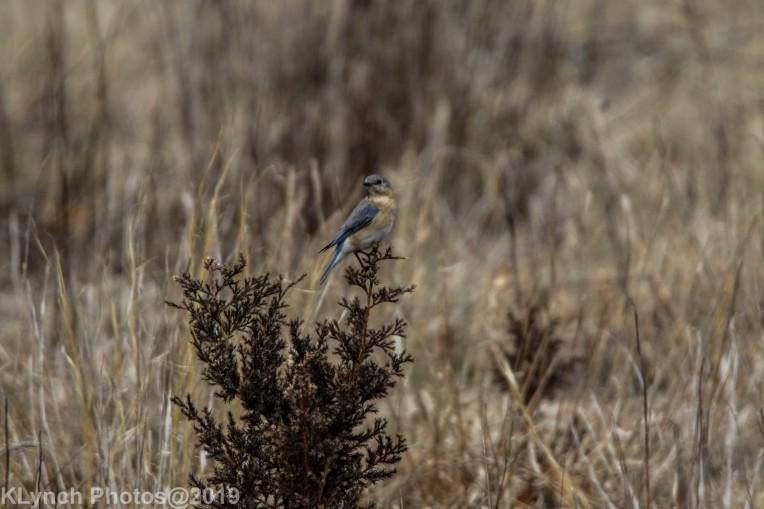 Bluebird_11