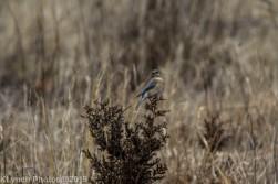 Bluebird_6