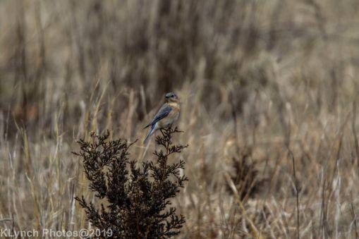 Bluebird_8