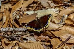 Butterfly_36