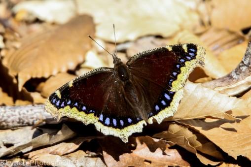 Butterfly_42