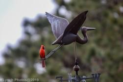 Cardinal_2