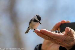 Chickadee_4