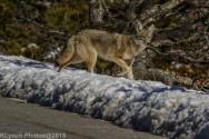 Coyote_11