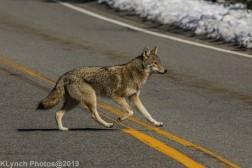 Coyote_3