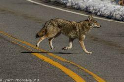 Coyote_4
