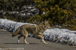 Coyote_7