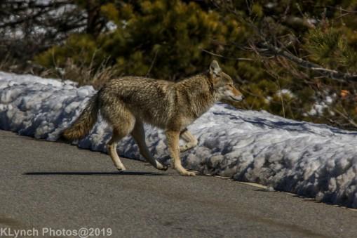 Coyote_8