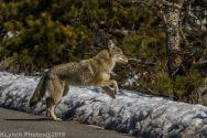 Coyote_9