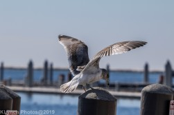 Gulls_12