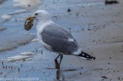 Gulls_15