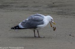 Gulls_5