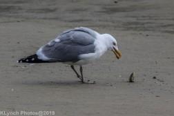 Gulls_6