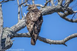 Hawk_11