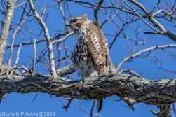 Hawk_19