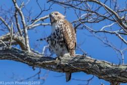 Hawk_24