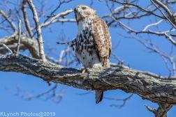 Hawk_26
