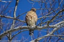 Hawk_3