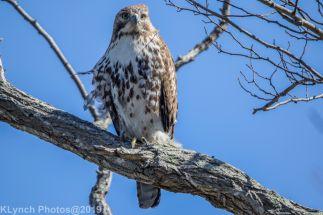 Hawk_35