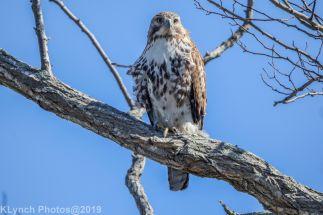 Hawk_37