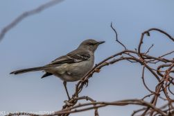Mockingbird_1