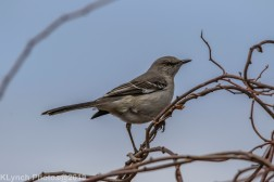 Mockingbird_3