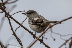 Mockingbird_4