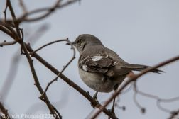 Mockingbird_5