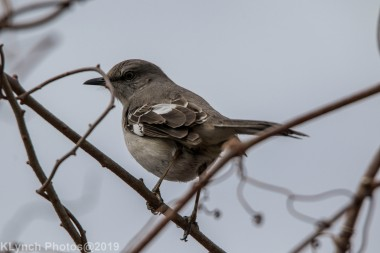 Mockingbird_6