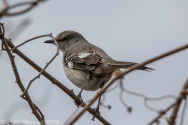 Mockingbird_7