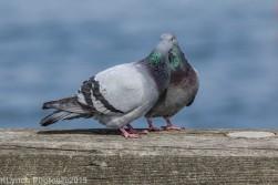 Pigeons_3