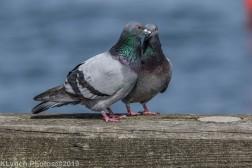 Pigeons_4