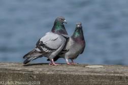 Pigeons_6