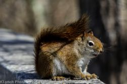 RedSquirrel_10