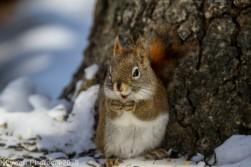 RedSquirrel_11