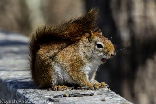 RedSquirrel_13