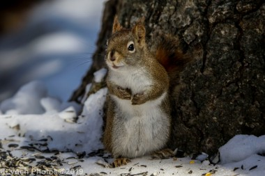 RedSquirrel_16