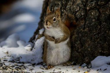 RedSquirrel_16