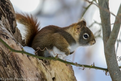 RedSquirrel_18
