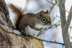 RedSquirrel_19
