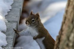 RedSquirrel_2
