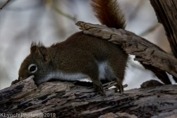 RedSquirrel_21