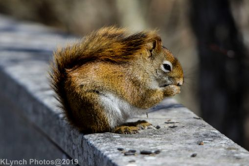 RedSquirrel_22