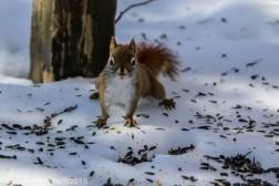 RedSquirrel_24