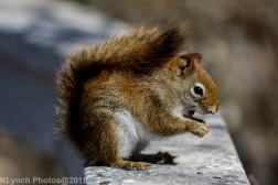 RedSquirrel_26