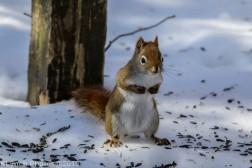 RedSquirrel_26